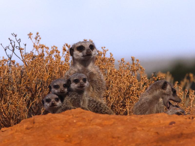 Five Shy Meerkats