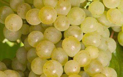 De Krans Wine – Hanepoot Pluk