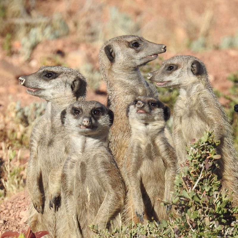 Meerkats at Buffelsdrift Game Reserve